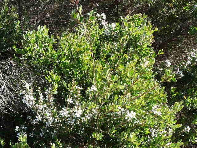 Tea tree - oil is antibacterial and has many uses